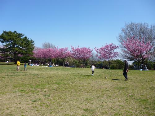 ひざくらの丘(観山広場)