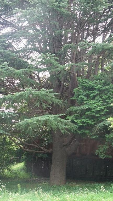 ●この樹、何歳くらい?