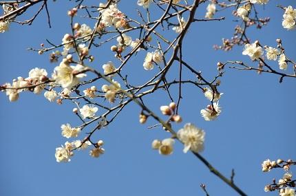 梅が咲きだして